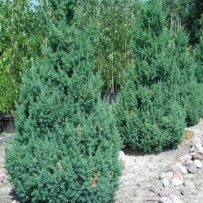 juniperus-chinensis-stricta
