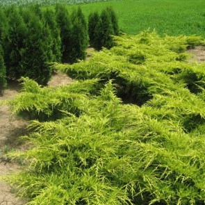juniperus-media-old-gold