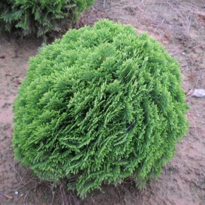thuja-occidentalis-danica