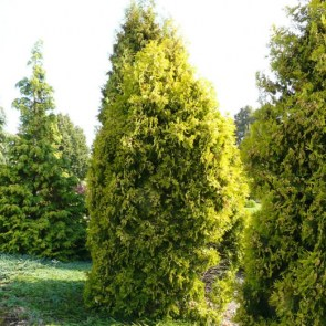 thuja-occidentalis-malonyana-aurea