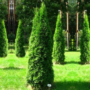 thuja-occidentalis-smaragd1