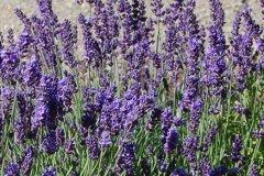 Lavandula angustifolia Hidcote Blue